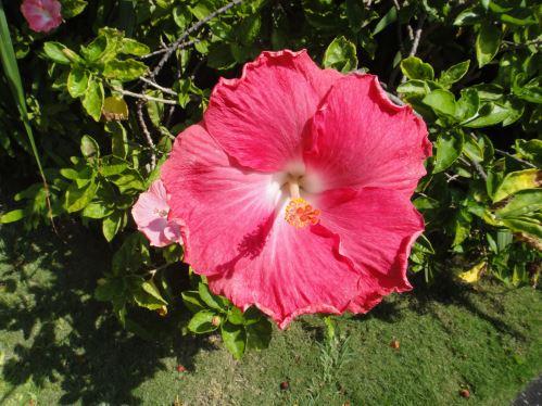 Fleur en novembre, Hawaï (Grande Île)