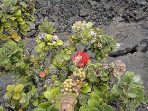 30 ans après la résorbtion du lac de lave, les plantes sont là!